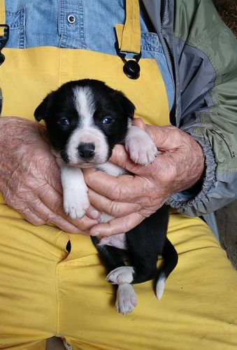 Border Collie Puppies for sale in Alliance, OH 44601, USA. price 400USD