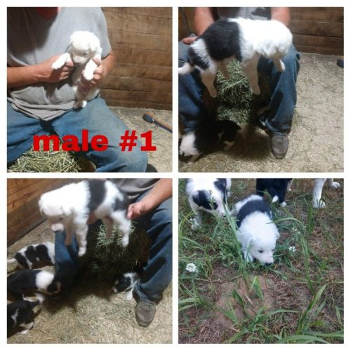 Border Collie Puppies for sale in Kalkaska, MI 49646, USA. price 700USD