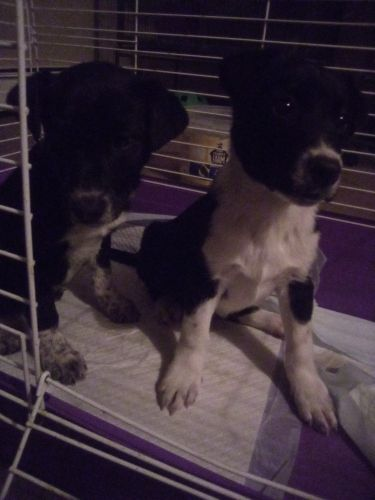 Border Collie Puppies for sale in St Cloud, MN, USA. price 550USD
