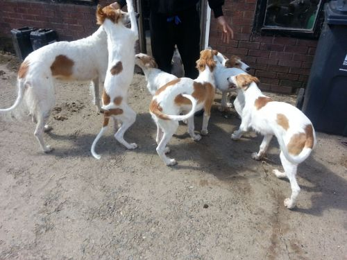 Borzoi Puppies for sale in Indianapolis, IN, USA. price -USD