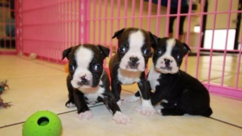 Boston Terrier Puppies Sale Raleigh Nc 2888 Hooblyus