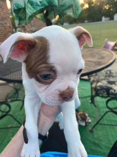 Boston Terrier Puppies for sale in 3515 Mullinswood Rd, Shelbyville, TN 37160, USA. price 750USD