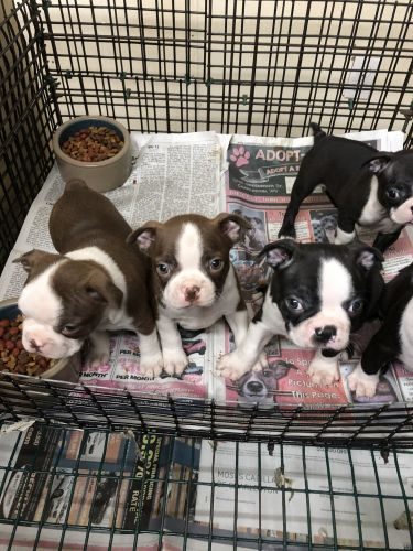 Boston Terrier Puppies for sale in Charleston, WV, USA. price -USD