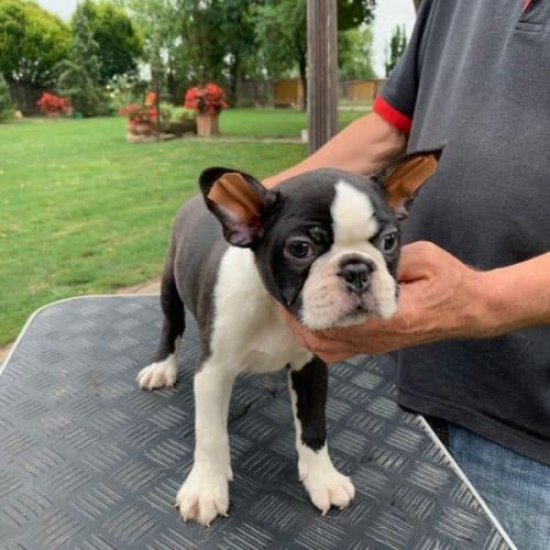 Boston Terrier Puppies for sale in Colorado Springs, CO, USA. price 500USD