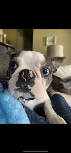 Boston Terrier Puppies for sale in Elkhart, IN, USA. price -USD