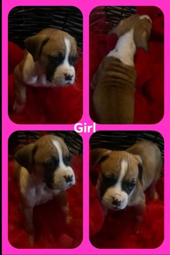 Boxer Puppies for sale in Caro, MI 48723, USA. price 800USD