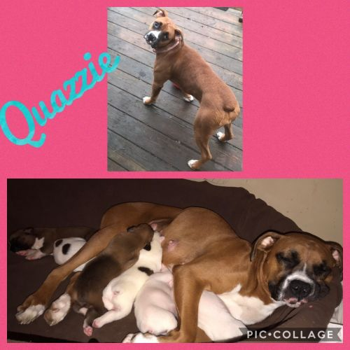 Boxer Puppies for sale in Caneyville, KY 42721, USA. price 700USD