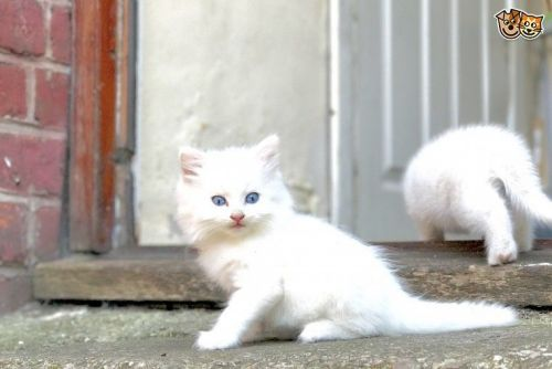 British Longhair Cats for sale in Indianapolis, IN, USA. price -USD