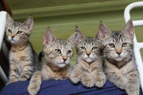 British Longhair Cats for sale in Texas City, TX, USA. price -USD