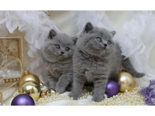 British Shorthair Cats for sale in Salt Lake City, UT, USA. price 320USD
