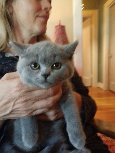 British Shorthair Cats Sale   Seattle, WA #6688   Hoobly US