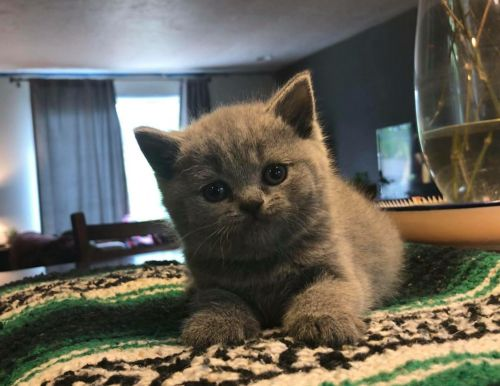 British Shorthair Cats Sale | Seattle, WA #6688 | Hoobly US