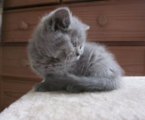 British Shorthair Cats for sale in Los Angeles, CA, USA. price 300USD