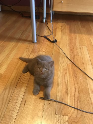 British Shorthair Cats for sale in New York, NY, USA. price 1200USD