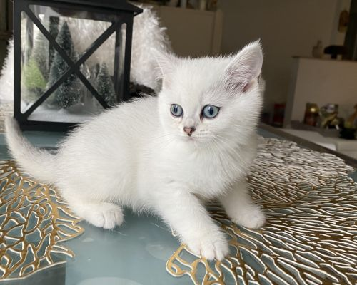 British Shorthair Cats for sale in Staten Island, NY, USA. price 1800USD
