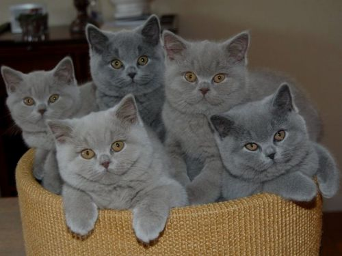 British Shorthair Cats for sale in California City, CA, USA. price 800USD