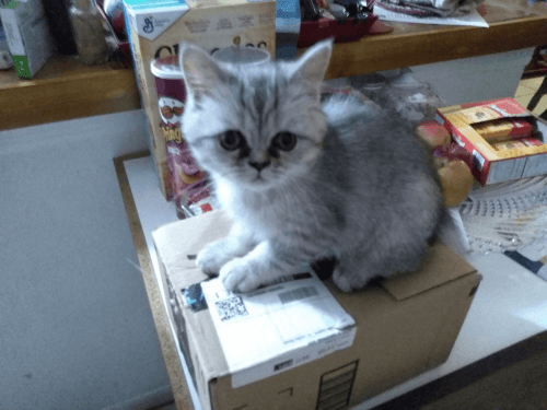 British Shorthair Cats for sale in Tampa, FL, USA. price 800USD