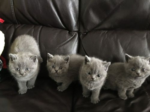 British Shorthair Cats for sale in NV-592, Las Vegas, NV, USA. price 200USD