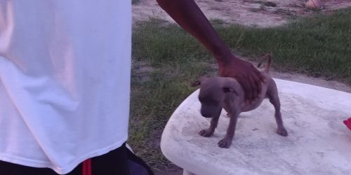 Bull and Terrier Puppies for sale in Augusta, GA, USA. price 225USD