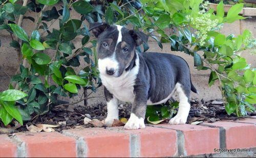 Belgian Shepherd Dog Malinois Puppies Sale Tulsa Ok 1046