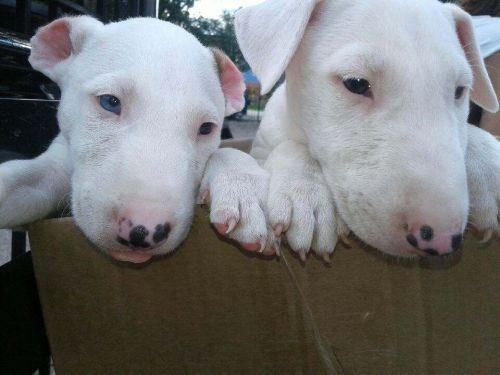 Bull Terrier Miniature Puppies for sale in 2583 Hackberry St, Cincinnati, OH 45206, USA. price -USD