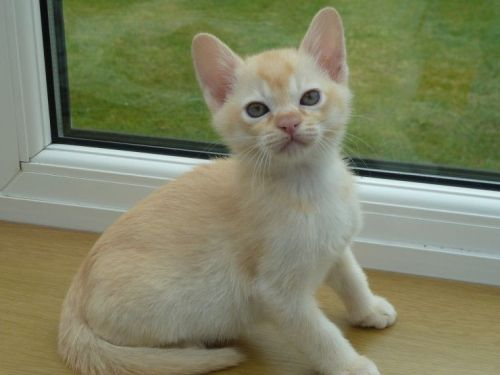 Burmese Cats for sale in Los Angeles, CA, USA. price -USD