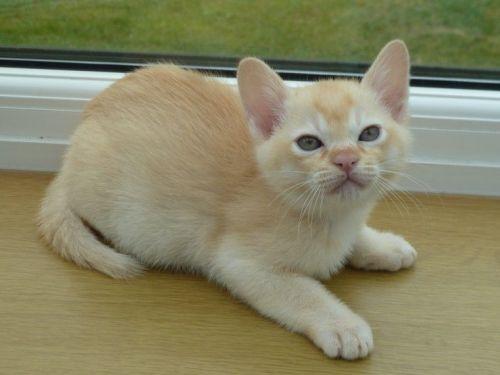 Burmese Cats for sale in Detroit, MI, USA. price -USD