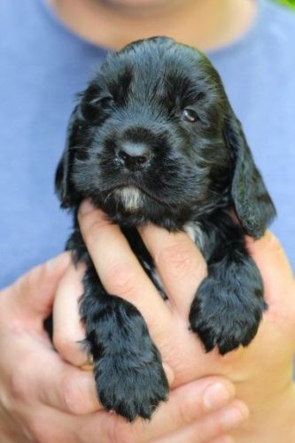 Cabecudo Boiadeiro Puppies for sale in Jacksonville, FL, USA. price -USD