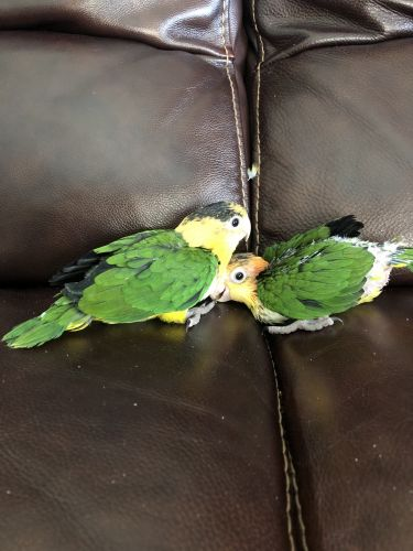 Caique Birds for sale in Cutler Bay, FL, USA. price 725USD
