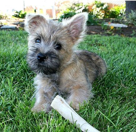 Cairn Terrier Puppies for sale in Houston, TX 77005, USA. price 470USD