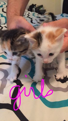 Calico Cats for sale in Calabash, NC 28467, USA. price 20USD
