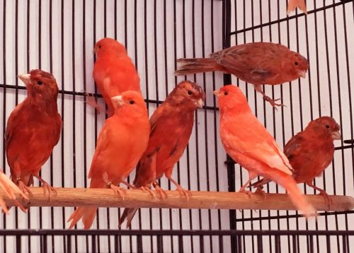 Canary Birds for sale in Mishawaka, IN, USA. price 65USD