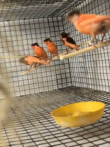 Canary Birds for sale in Hialeah, FL, USA. price -USD