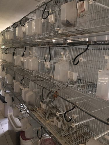 Canary Birds for sale in Hialeah, FL, USA. price 20USD