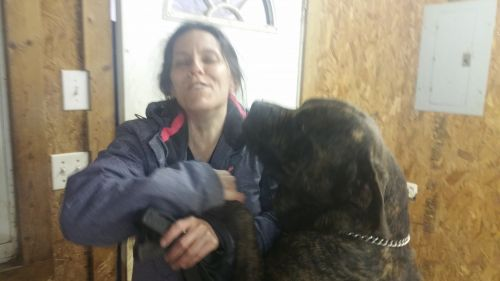 Cane Corso Puppies for sale in Winston-Salem, NC, USA. price 800USD