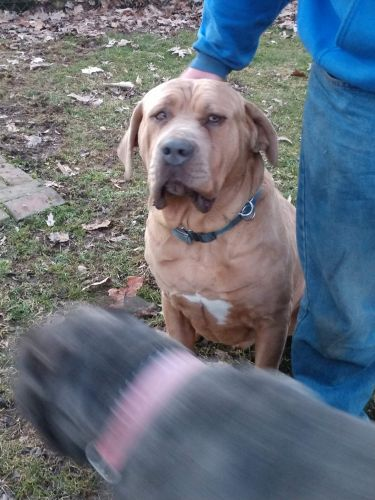 Cane Corso Puppies for sale in North Canton, OH, USA. price -USD