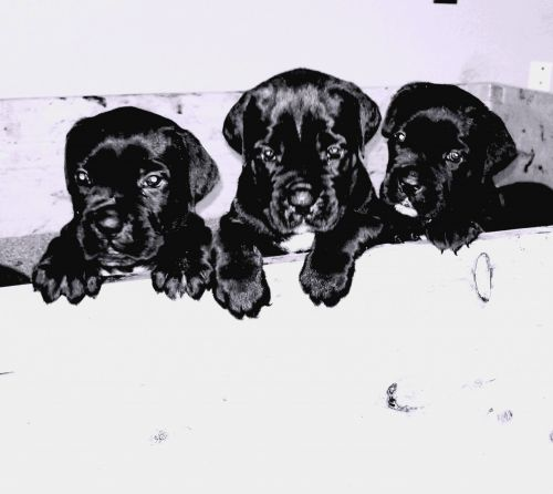 Cane Corso Puppies for sale in Hobbs, NM, USA. price -USD