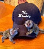 Capuchins Monkey Animals for sale in Indianapolis, IN, USA. price -USD