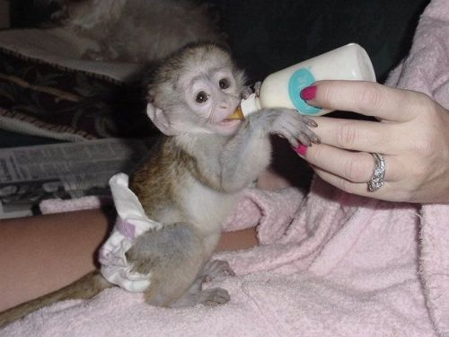 Capuchins Monkey Animals for sale in Jacksonville, FL, USA. price -USD
