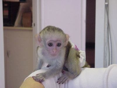 Capuchins Monkey Animals for sale in NJ-17, Paramus, NJ 07652, USA. price -USD