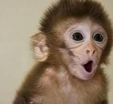 Capuchins Monkey Animals for sale in Colorado Springs, CO, USA. price 200USD