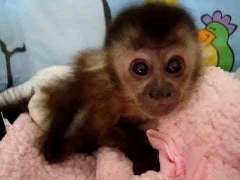 Capuchins Monkey Animals Sale | Atlanta, GA #5376