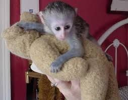 Capuchins Monkey Animals for sale in Covington, GA, USA. price 500USD