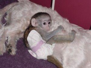 Capuchins Monkey Animals for sale in Virginia Beach Blvd, Virginia Beach, VA, USA. price -USD
