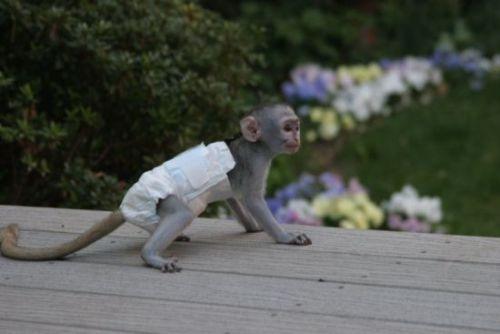 Capuchins Monkey Animals for sale in Philadelphia, PA, USA. price 400USD