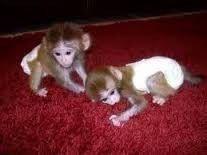Capuchins Monkey Animals for sale in Philadelphia, PA, USA. price 900USD