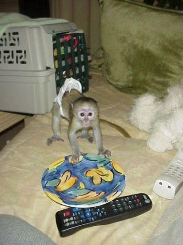 Capuchins Monkey Animals for sale in Philadelphia, PA, USA. price 450USD