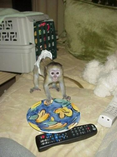Capuchins Monkey Animals for sale in Philadelphia, PA, USA. price -USD