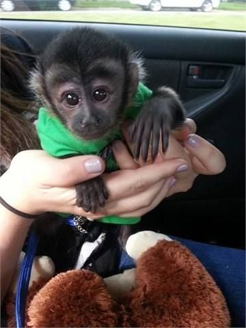 Capuchins Monkey Animals for sale in Montgomery, AL, USA. price 500USD