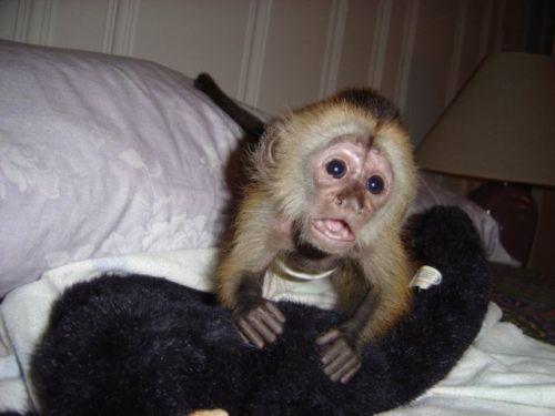 Capuchins Monkey Animals for sale in Austin, TX, USA. price 450USD